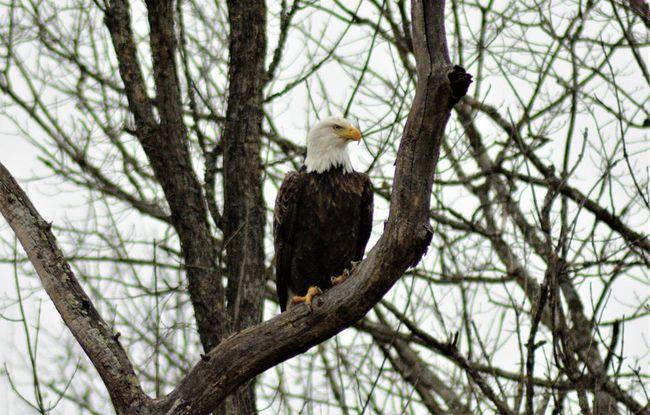 Southern ohio Bald Eagle