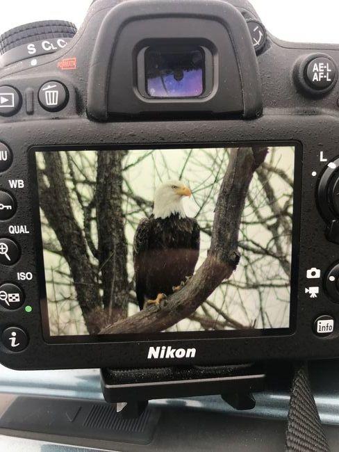 Nikon D7100 Bald Eagle