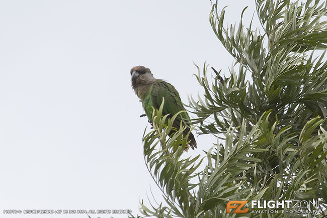 Brown Headed Parrot in my garden