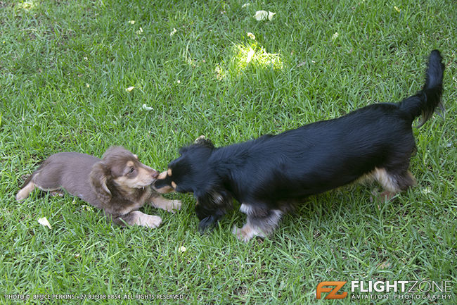 Long Haired Chocolate and Cream Dachshund Puppy and cream and black Dachshu