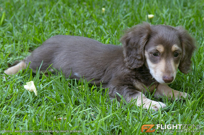 Long Haired Chocolate and Cream Dachshund Puppy