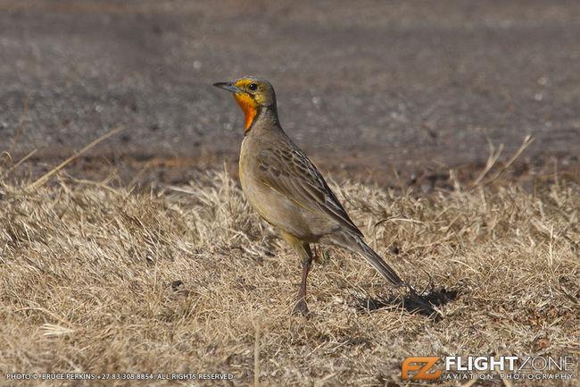 Orange Throated Longclaw Springs Airfield FASI