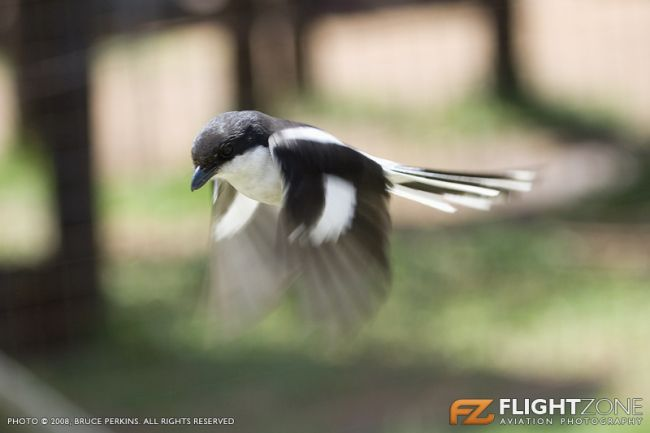 Fiscal Shrike Rand Airport FAGM Bird