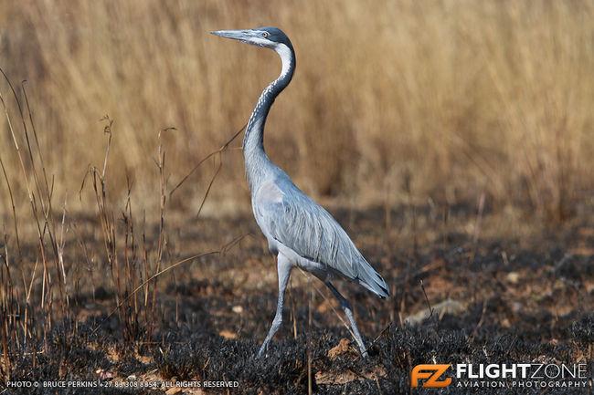 Black Headed Heron Rand Airport FAGM Bird